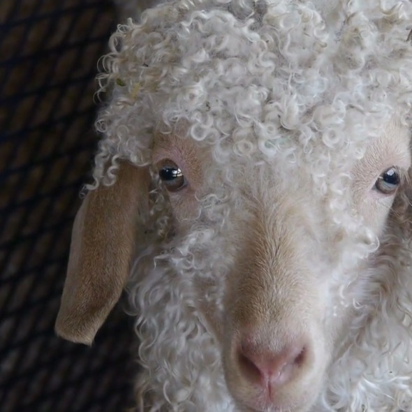 Sheep_and_Wool__and_Goats__Alpacas__Llamas__and_Lots_of_Food__Festival_on_Vimeo