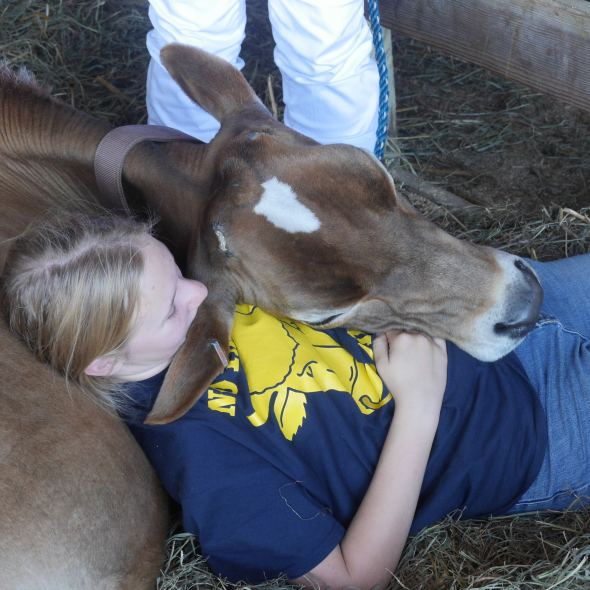 cuddle with cow