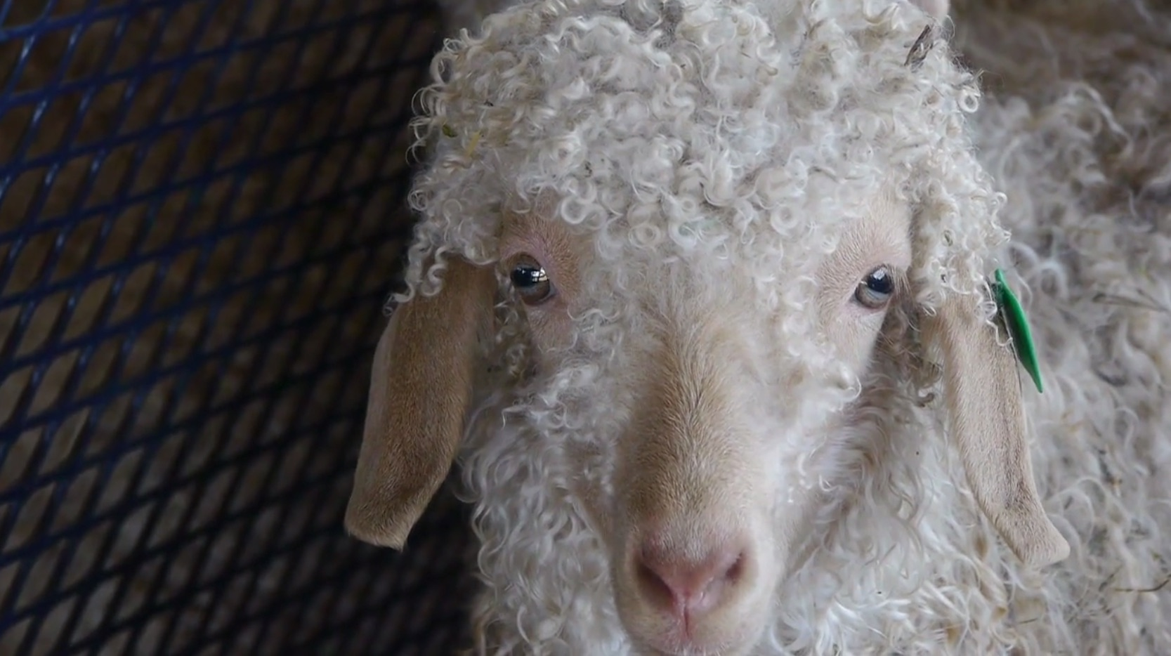 Sheep and Alpacas and Llamas and Goats and Wool and Food Festival